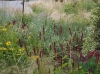 Rudbeckia Goldsturm and Persicaria 'Firetail'